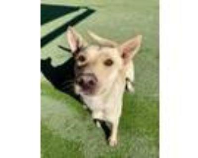 Adopt Elbow a Brown/Chocolate Labrador Retriever / Mixed dog in El Paso
