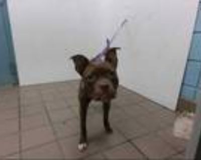 Adopt ANELA a Brown/Chocolate - with White Boxer / American Pit Bull Terrier /