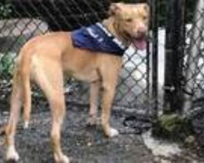 Adopt NICO a Pit Bull Terrier