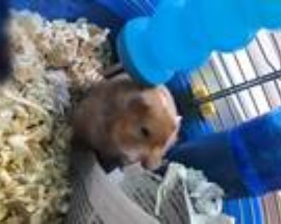 Russet, Hamster For Adoption In Portsmouth, Virginia