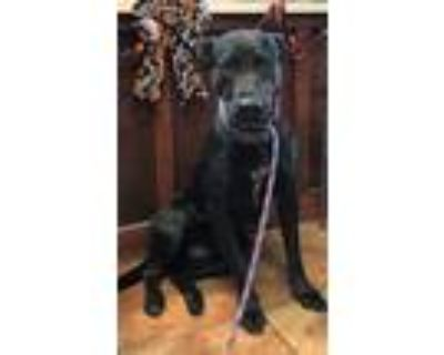 Adopt Stella a Black Labrador Retriever / American Pit Bull Terrier / Mixed dog