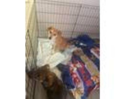 Adopt Creamer a Labrador Retriever, Husky