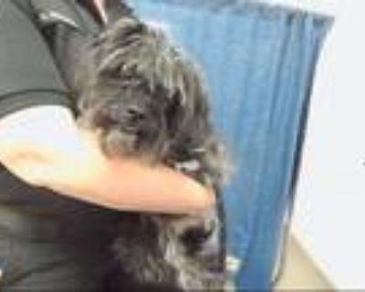 Adopt CINDERELLA a Affenpinscher, Cairn Terrier