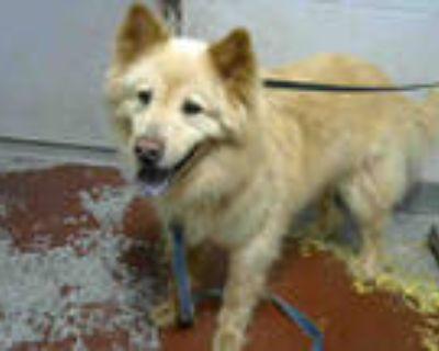 Adopt SHYLOW a Black Chow Chow / Mixed dog in Atlanta, GA (31557131)
