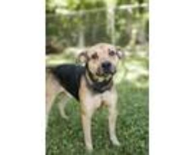 Adopt Mad Max a German Shepherd Dog, Pit Bull Terrier
