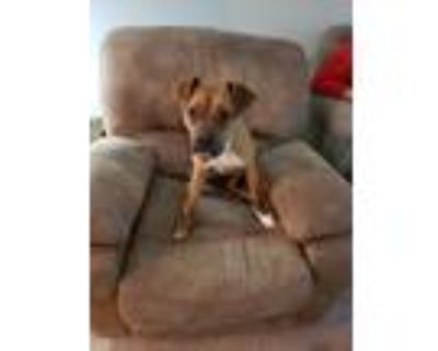 Adopt Jericho a Tan/Yellow/Fawn - with White Boxer / American Pit Bull Terrier /
