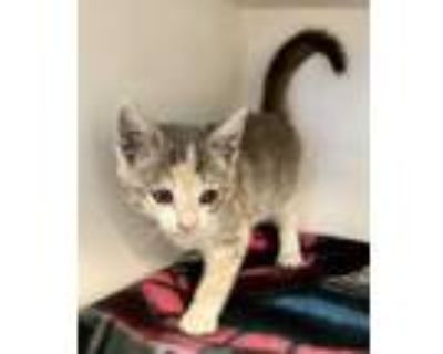 Adopt *SNUGGLES a Gray or Blue (Mostly) Domestic Shorthair / Mixed (short coat)