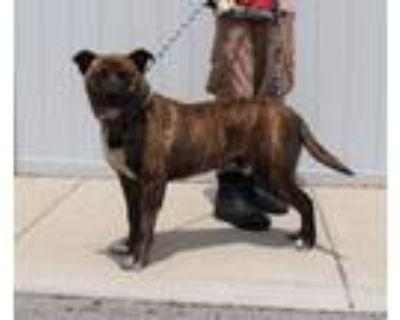 Adopt CALAMARI a Labrador Retriever, German Shepherd Dog