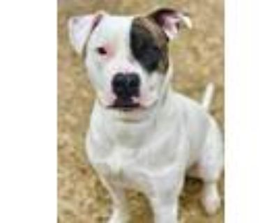 Adopt Wishbone a White American Pit Bull Terrier / Mixed dog in Noblesville