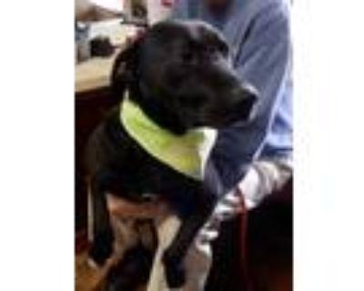 Adopt Bubba a Black Labrador Retriever / Mixed dog in Amarillo, TX (14189329)
