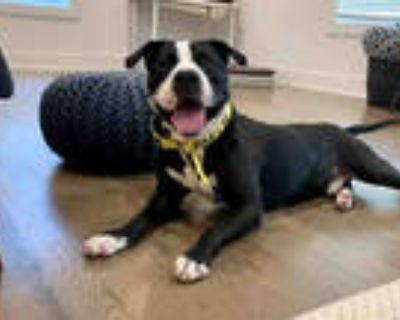 Adopt BLACK JACK a Black - with White American Pit Bull Terrier / Mixed dog in