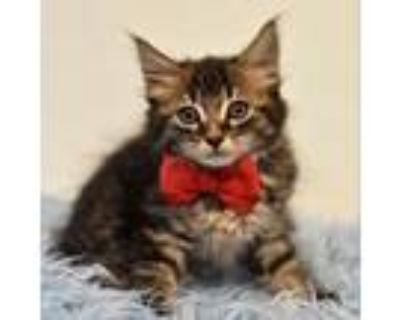 Adopt George a Domestic Long Hair, Maine Coon