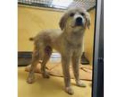 Adopt Neptune a Tan/Yellow/Fawn Great Pyrenees / Mixed dog in Independence