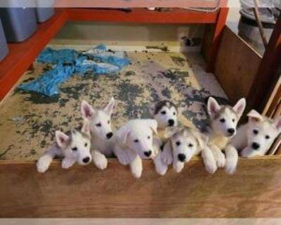 BEAUTIFUL HUSKY AND GERMAN SHEPHERD MIXED PUPPIES