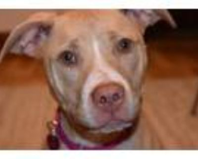 Adopt Bailey a Pit Bull Terrier