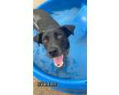 Adopt Willow - CL a Cattle Dog, Dalmatian