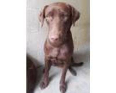 Adopt Tami a Labrador Retriever, Mixed Breed