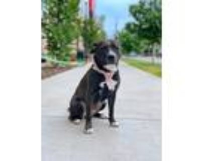 Adopt Lacey a Black - with White American Pit Bull Terrier / Mixed dog in