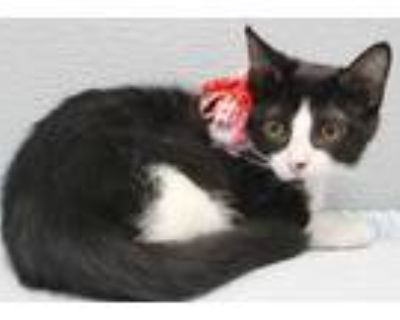 Adopt Biscuit (East Campus) a All Black Domestic Shorthair / Domestic Shorthair