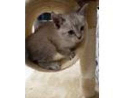 Adopt lilac a Gray or Blue Domestic Shorthair / Siamese / Mixed cat in Joshua