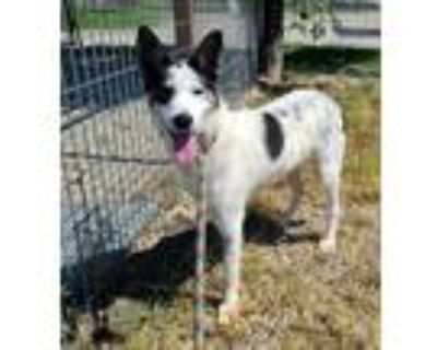 Adopt Martin a Black Border Collie / Husky / Mixed dog in Fort Worth