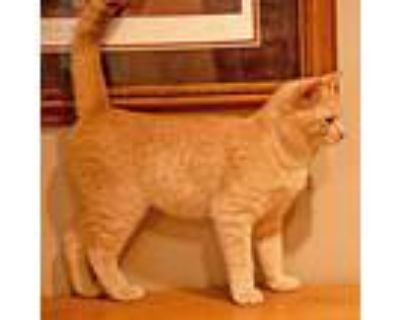 Courtesy Listing: Punkin , Domestic Shorthair For Adoption In Mccormick