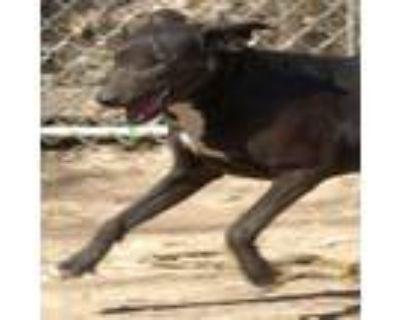 Adopt Shana a Labrador Retriever, Terrier