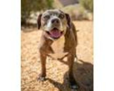 Adopt Billy a Brindle American Staffordshire Terrier / Mixed dog in Palm