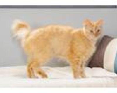Adopt 47970844 a Domestic Medium Hair, Domestic Short Hair