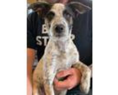 Adopt Narnia a Australian Cattle Dog dog in Amherst, NY (31673756)