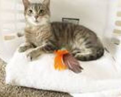 Miracle, Domestic Shorthair For Adoption In Xenia, Ohio