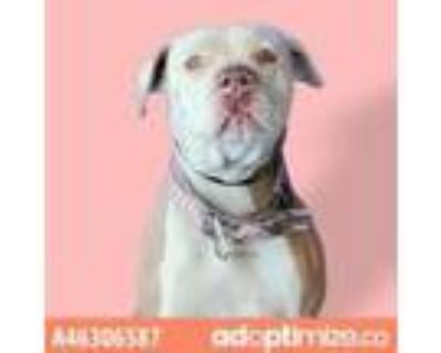 Adopt Molly a Tan/Yellow/Fawn American Pit Bull Terrier / Mixed dog in El Paso