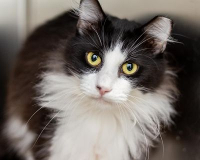 Bear - Domestic Longhair - Young Adult Male