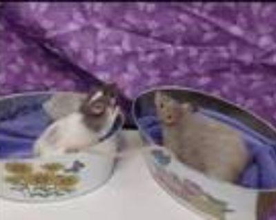 Adopt Baby boys a Rat