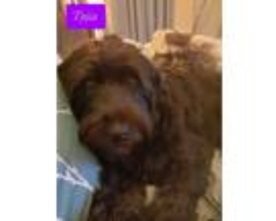 Adopt Nellie a Goldendoodle, Labradoodle