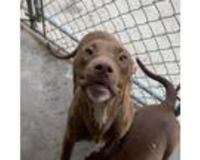 Adopt Meatball a Brown/Chocolate Pit Bull Terrier / Mixed Breed (Medium) / Mixed