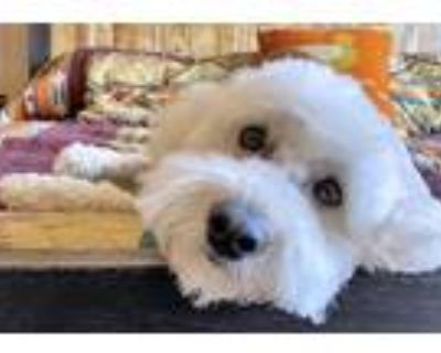 Adopt NM-GRIFFY ADOPTED! a Goldendoodle