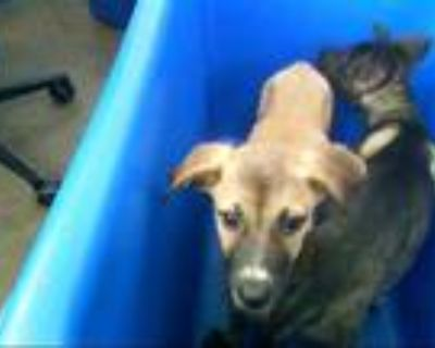 Adopt A1126108 a Tan/Yellow/Fawn - with White Belgian Malinois / Mixed dog in