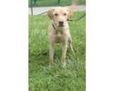 Adopt LEO a Tan/Yellow/Fawn Labrador Retriever / Mixed dog in St.