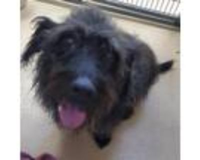 Adopt Luke a Black Dachshund / Terrier (Unknown Type, Small) / Mixed dog in St.