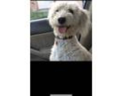 Adopt Bailey a Tan/Yellow/Fawn Poodle (Miniature) / Terrier (Unknown Type