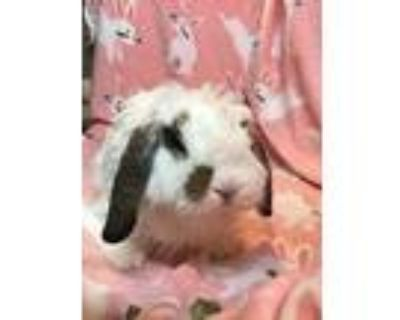 Bobbles, American Fuzzy Lop For Adoption In Waynesboro, Virginia