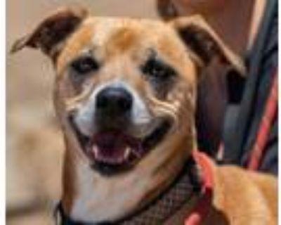 Adopt Belle a Labrador Retriever