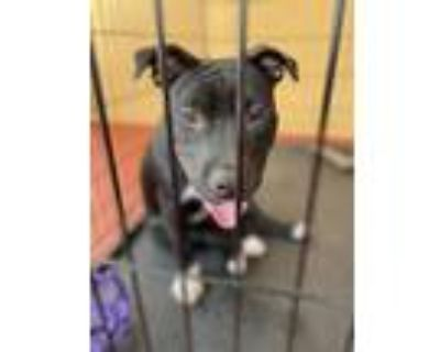 Adopt Nala a Black American Pit Bull Terrier / Mixed dog in Fort Myers