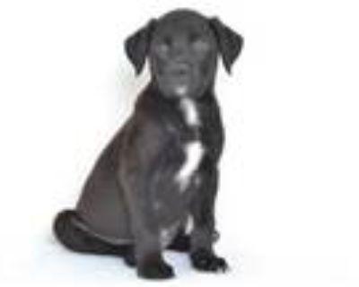 Adopt A591025 a Labrador Retriever, Mixed Breed