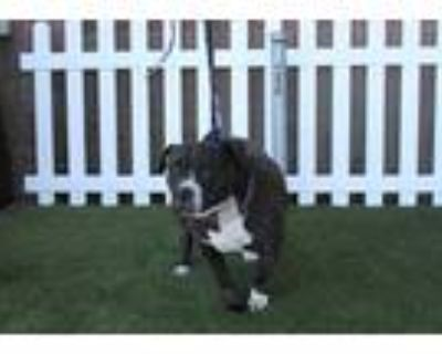 Adopt a Black - with White American Pit Bull Terrier / Mixed dog in Modesto