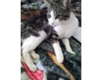 Adopt Mama's a Tiger Striped American Shorthair / Mixed (short coat) cat in
