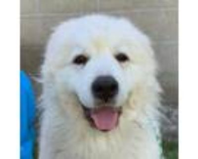 Adopt Panghu a White Great Pyrenees / Great Pyrenees / Mixed dog in Sacramento