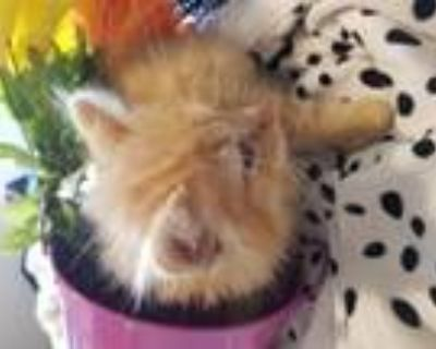 Adopt Sol a Maine Coon