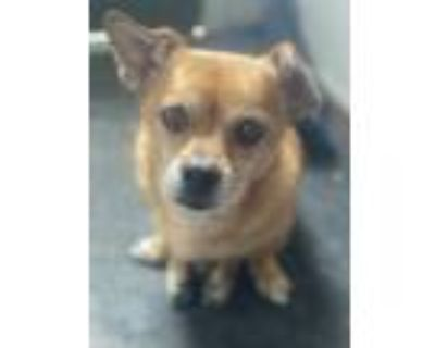 Adopt Rusty a Beagle, Pug